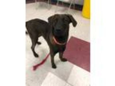 Adopt Scamander a Brown/Chocolate - with Black Labrador Retriever / Mixed dog in