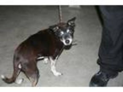 Adopt a Black - with White Rat Terrier / Mixed dog in Modesto, CA (25901210)