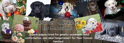 Labrador Retriever PUPPY FOR SALE ADN-103955 - Silver Charcoal and Light Yellow Babies