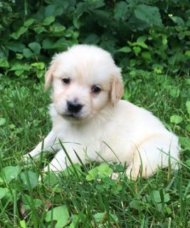 Golden Retriever PUPPY FOR SALE ADN-81399 - AKC Golden Retriever