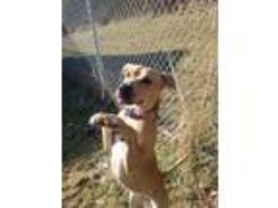 Adopt Reagyn a Pit Bull Terrier