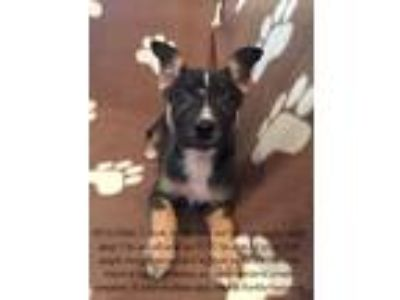 Adopt Delilah! Border Collie/Chi pup a Brown/Chocolate - with White Border