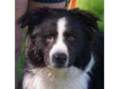 Adopt Starlord a Black - with White Australian Shepherd / Border Collie / Mixed