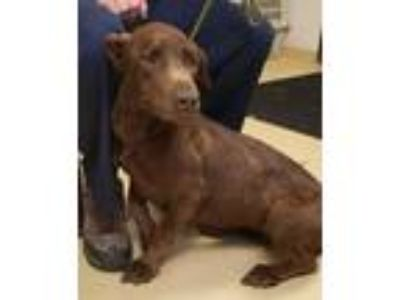 Adopt Hazel a Brown/Chocolate Retriever (Unknown Type) / Mixed dog in Violet