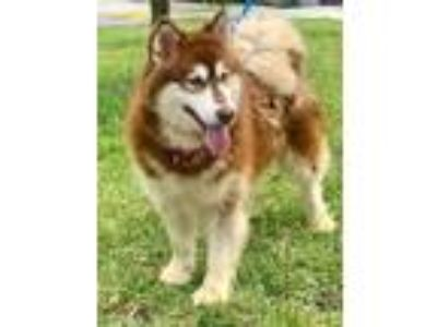 Adopt Little Red a Black Alaskan Malamute / Mixed dog in Loxahatchee