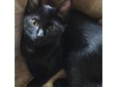 Adopt Jelly Bean a All Black Domestic Shorthair cat in Woodstock, GA (24776135)