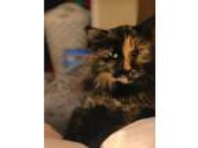 Adopt Tipsy a Calico or Dilute Calico Calico cat in Lakewood, CO (25273117)