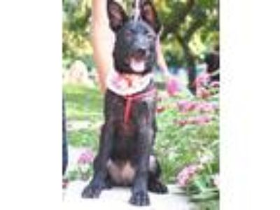 Adopt Penzi a Black Collie / Labrador Retriever / Mixed dog in Castro Valley