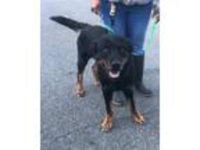 Adopt 19-06-1886 Woofio a Rottweiler / Mixed dog in Dallas, GA (25665461)