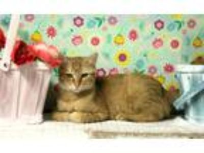 Adopt J. Catsby a Orange or Red Tabby Domestic Shorthair (short coat) cat in