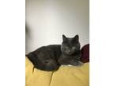 Adopt Wizard a Gray or Blue Domestic Shorthair cat in Seattle, WA (25879911)