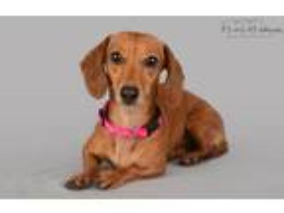 Adopt Lola-2 a Red/Golden/Orange/Chestnut Dachshund / Mixed dog in Lodi