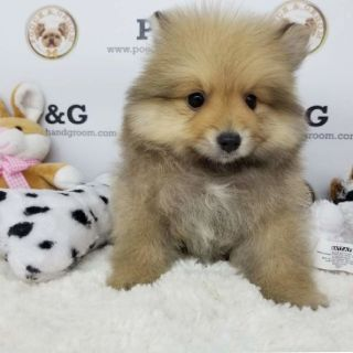 POMERANIAN - PAUL - MALE