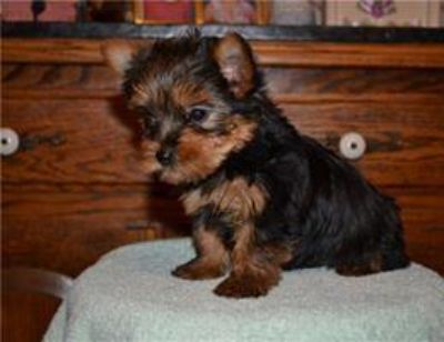 Adorable yorkie puppies ready for new loving homes