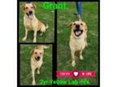 Adopt Grant a Yellow Labrador Retriever