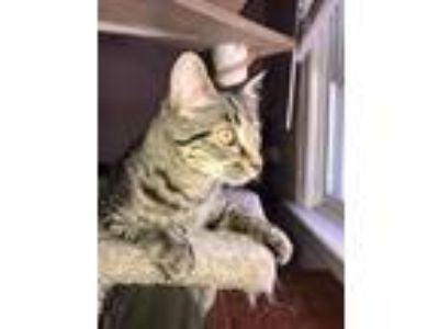 Adopt Mighty a Gray, Blue or Silver Tabby Domestic Shorthair (short coat) cat in