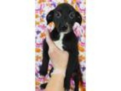 Adopt Questa a Black Jack Russell Terrier / Spaniel (Unknown Type) / Mixed dog