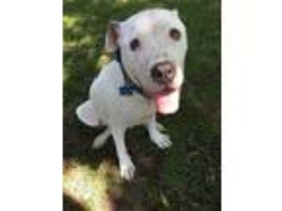 Adopt Lil Pearl a Staffordshire Bull Terrier