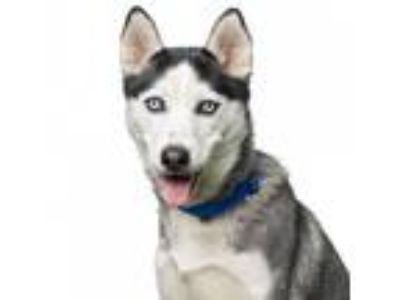Adopt Ella a Black - with White Siberian Husky / Mixed dog in Los Angeles