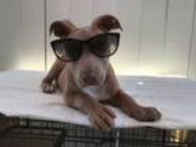 Adopt Taylor a Pit Bull Terrier