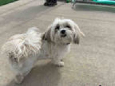 Adopt *SIR WALTER a White - with Tan, Yellow or Fawn Shih Tzu / Mixed dog in