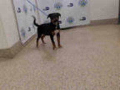 Adopt REX a Tricolor (Tan/Brown & Black & White) Rottweiler / Mixed dog in