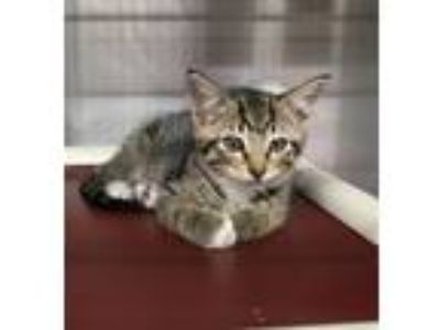 Adopt AINSLEY - Handsome Kitten! a Domestic Short Hair, Tabby
