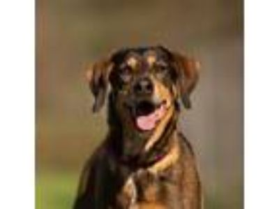 Adopt Harley a German Shepherd Dog, English Coonhound