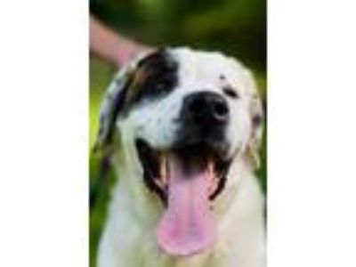 Adopt BARRY a White - with Brown or Chocolate St. Bernard / Mixed dog in