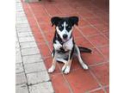 Adopt Ziggy a Tricolor (Tan/Brown & Black & White) Husky / Mixed dog in