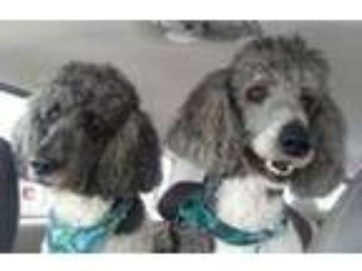 Adopt Copy of Sampson a Poodle