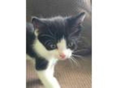 Adopt Violet a All Black Domestic Shorthair / Domestic Shorthair / Mixed cat in
