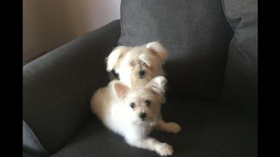 2 Maltipom Puppies