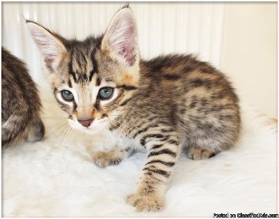 Cute Savannah Kitten Available for new homes