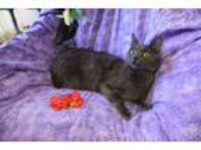 Adopt Maisie a Russian Blue, Domestic Short Hair