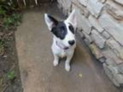 Adopt Ivy a White - with Black Border Collie / Bull Terrier / Mixed dog in