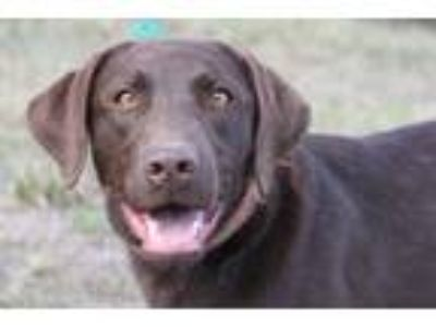 Adopt Lucy a Brown/Chocolate Labrador Retriever / Mixed dog in Sweet Home