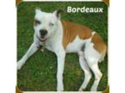 Adopt BORDEAUX a White - with Brown or Chocolate Pit Bull Terrier / Mixed dog in