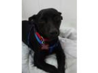 Adopt Francis a Black - with Brown, Red, Golden, Orange or Chestnut Miniature