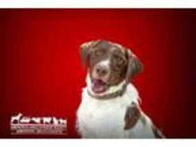 Adopt Cooper a White Retriever (Unknown Type) / English Springer Spaniel / Mixed