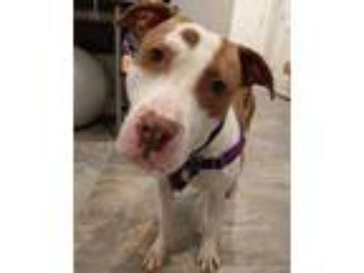Adopt Holly a Pit Bull Terrier, American Staffordshire Terrier