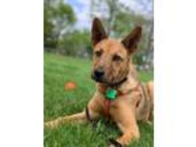 Adopt Jackson a German Shepherd Dog