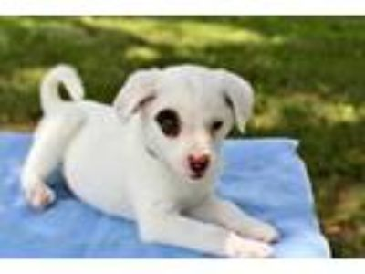 Adopt PUPPY DALTON a White - with Brown or Chocolate Australian Shepherd / Mixed