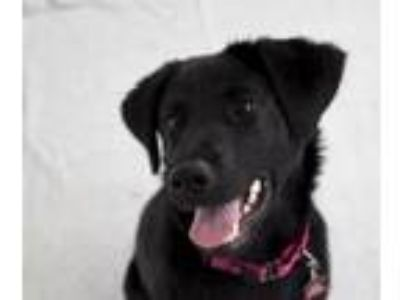 Adopt Eclipse a Labrador Retriever, Mixed Breed