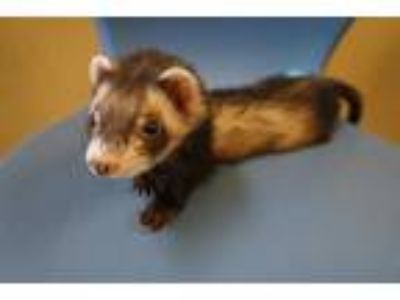 Adopt BEAU a Brown or Chocolate Ferret / Mixed small animal in Norfolk
