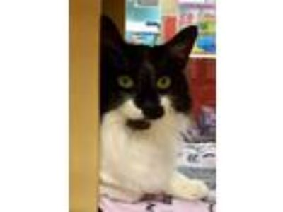 Adopt Chaplin a Domestic Medium Hair