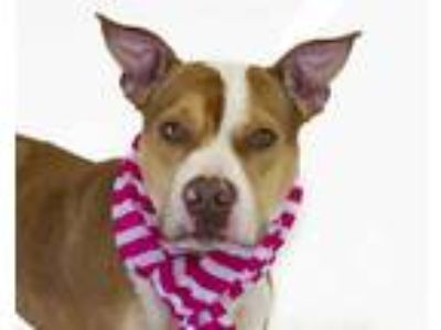 Adopt DORI a Brown/Chocolate - with White American Pit Bull Terrier / Mixed dog