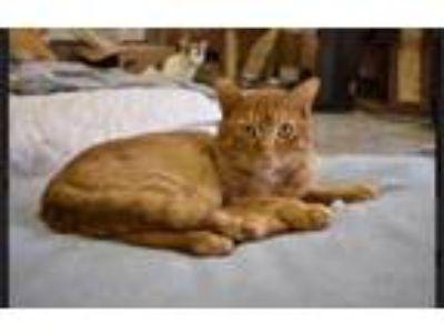 Adopt Nacho a Tabby, Tiger