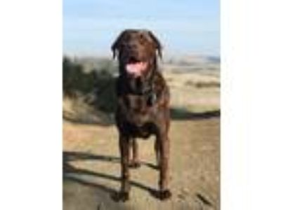 Adopt Kea a Brown/Chocolate Labrador Retriever / Mixed dog in San Francisco