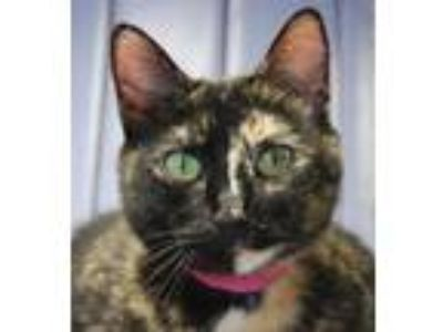 Adopt Charm a Tortoiseshell, Domestic Short Hair